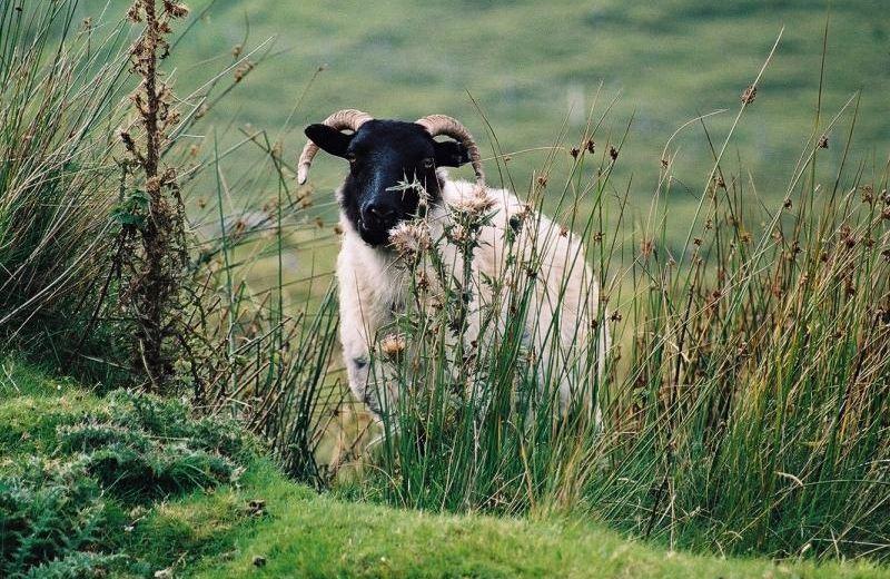 boards/gcompris/animals/sheep_irish.jpg