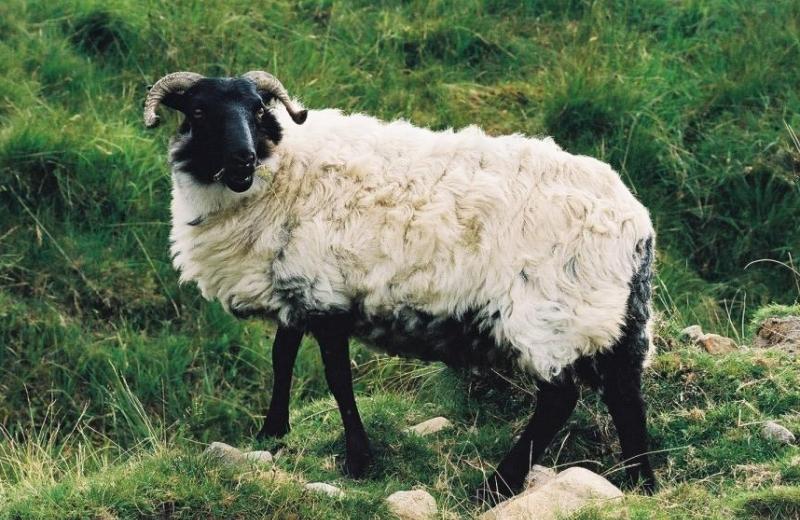 boards/gcompris/animals/sheep_irish2.jpg