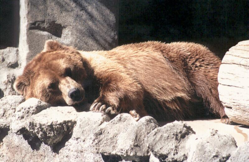 boards/gcompris/animals/bear001.jpg