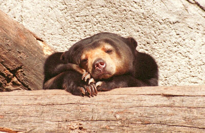boards/gcompris/animals/malaybear002.jpg